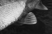 Shefish