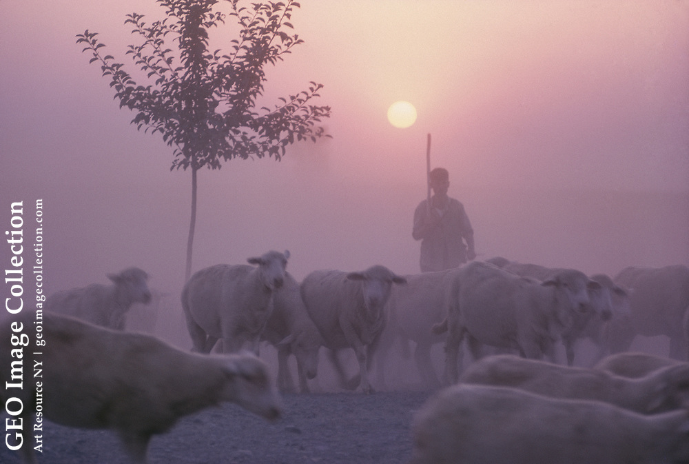 A Gypsy shepherd with his flock at sunset.
