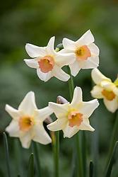 Narcissus 'Cha-cha' AGM