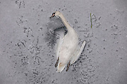 The carcass of a swan lies in the ice of the frozen Landwehr Canal in Berlin, Germany, February 10, 2021. It appears that the  swans legs were caught in the Ice, as the water of the canal froze after several days of extreme weather. Northern Europe is hit by sub zero temperatures caused by a polar vortex.