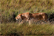 Lioness stalking prey, Serengeti National Park, Tanzania