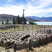 A sheep dog jumps a fence as it helps to herd sheep during the New Zealand Farming and Horticulture, Sheep Sales, at Lake Tekapo in Mackenzie Country, South Island, New Zealand. 24th February 2011, Photo Tim Clayton.