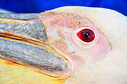 Great White Pelican (Pelecanus onocrotalus) closeup. Attaching GPS trackers to this bird before release back to nature will allow researchers to better understand the migration patterns and behaviour. Photographed at the Carmel Hai-Bar Animal Sanctuary in Israel