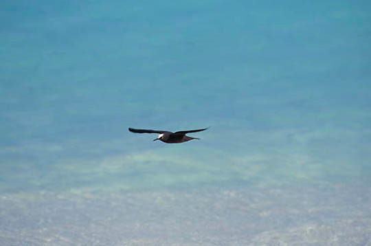 Brown Noddy, (Anous stolidus) Adult in flight. Midway Island. Hawaii.