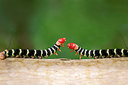 A close up shot of a two colorful caterpillars (Pseudosphinx tetrio) as they cross paths. Image was shot in tropical Jamaica.