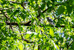Bluejay in a fully leafed out tree