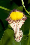 Close-up of a colourful Climbing birthwort or Dutchman's pipe (Aristolochia sempervirens) growing in a hothouse in Lincolnshire