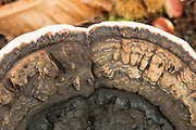 A bracket fungus. Surrey, UK.