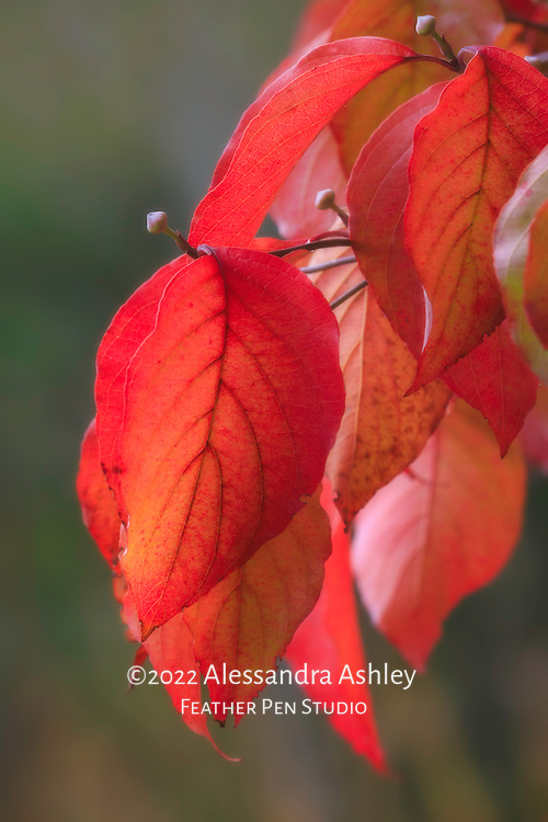 Cluster of dogwood leaves and buds, dressed in autumn colors.
