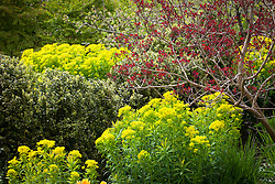 Euphorbia palustris with Cotinus coggygria at Glebe Cottage