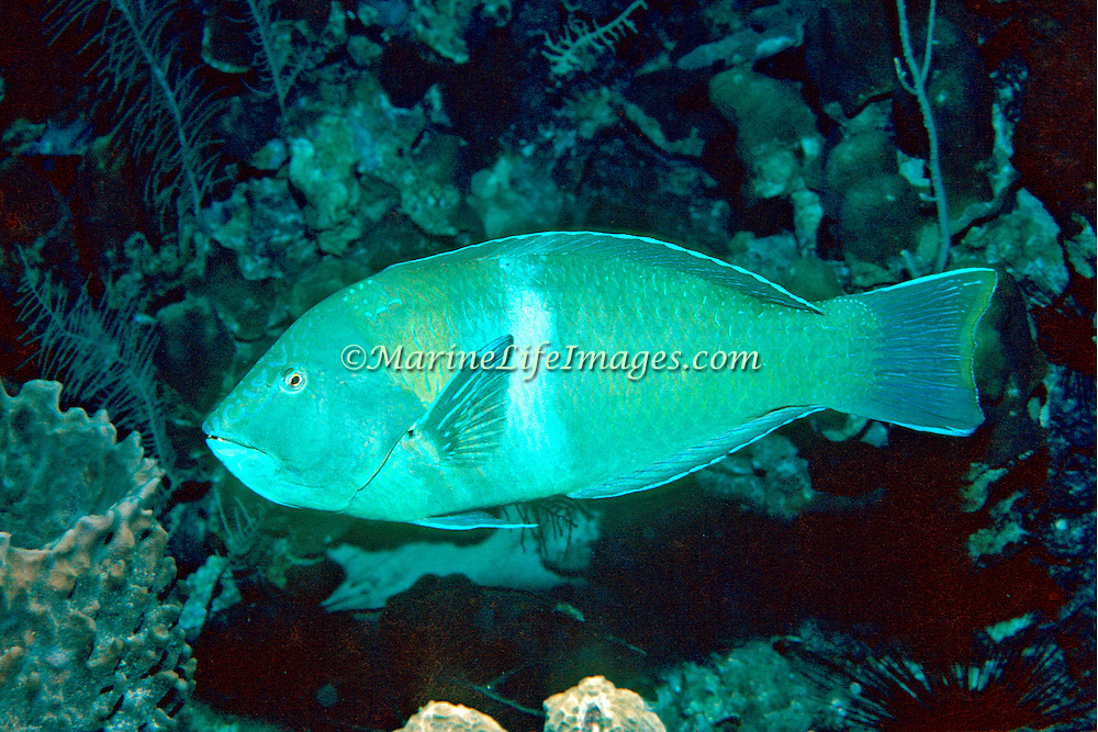 Puddingwife swim in open water just above and around reefs in Tropical West Atlantic; picture taken Grand Cayman.
