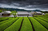 Japon, île de Honshu, région de Kansaï, Uji, champs de thé, culture du thé Sencha, Gyokuro et Matcha // Japan, Honshu island, Kansai region, Uji, tea field for Sencha, Gyokuro and Matcha tea