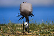 Demoiselle Crane (Anthropoides virgo) with chick<br /> Eastern Steppe<br /> Mongolia