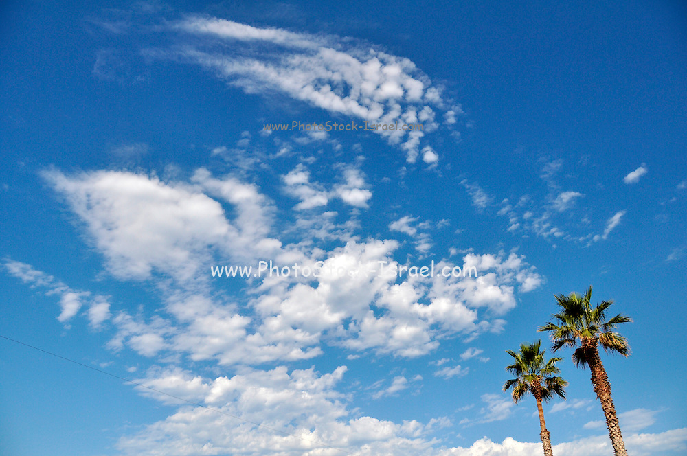 two large Palm trees on a blue sky background