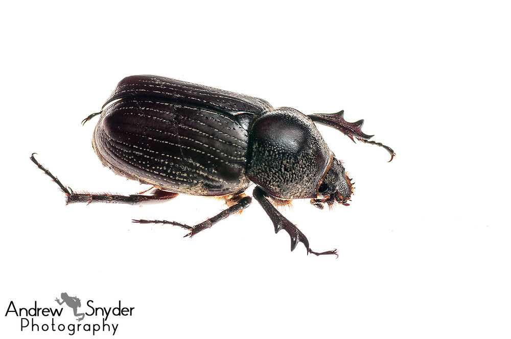 Podischnus sp, Iwokrama, Guyana, July 2013, Andrew Snyder