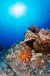 Crown-of-thorns star, Acanthaster planci, feeding on living coral polyps, venomous, Kona Coast, Big Island, Hawaii, Pacific Ocean