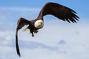 A bald eagle flies through the Alaska skies.