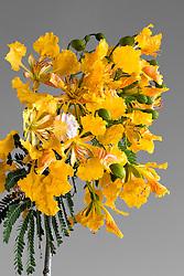 Royal Poinciana -yellow#35