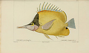 Chelmon from Histoire naturelle des poissons (Natural History of Fish) is a 22-volume treatment of ichthyology published in 1828-1849 by the French savant Georges Cuvier (1769-1832) and his student and successor Achille Valenciennes (1794-1865).