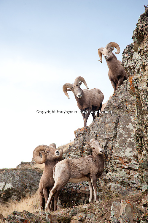 bighorn sheep rams on clif with ewe wild rocky mountain big horn sheep