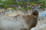 American elk, Cervus canadensis, Yellowstone National Park, Wyoming, USA