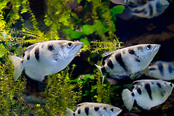 banded archerfish, Toxotes jaculatrix (c). Occurs in small aggregations primarily in blackish mangrove estuaries, but also penetrates rivers and small streams. It is renowned for its ability to shoot down insect prey by expelling beads of water from its mouth with considerable force and for its remarkable ability to compensate for visual refraction when aiming its shoots; shooting range is about 150 cm.