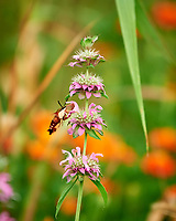 Hummingbird Clearwing Moth Feeding on a Bee Balm Flower. Image taken with a Nikon D810a camera and 70-200 mm f/2.8 VR lens.