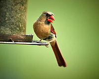 Northern Cardinal. Image taken with a Nikon D5 camera and 600 mm f/4 VR lens