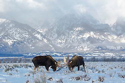 Fighting Bull Moose, Grand Tetons, Grand Teton National Park