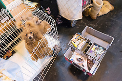 © Licensed to London News Pictures. 10/03/2016. Two Toy Poodles in their cages before a judging competition. Crufts celebrates its 12th anniversary as the Worlds largest dog show. Birmingham, UK. Photo credit: Ray Tang/LNP