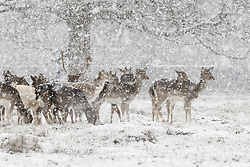 © Licensed to London News Pictures. 24/01/2021. London, UK. A herd of young deer are seen as snow falls in Bushy Park, south west London. A band of snow is crossing the south east this morning as temperature remain just above freezing. Photo credit: Peter Macdiarmid/LNP