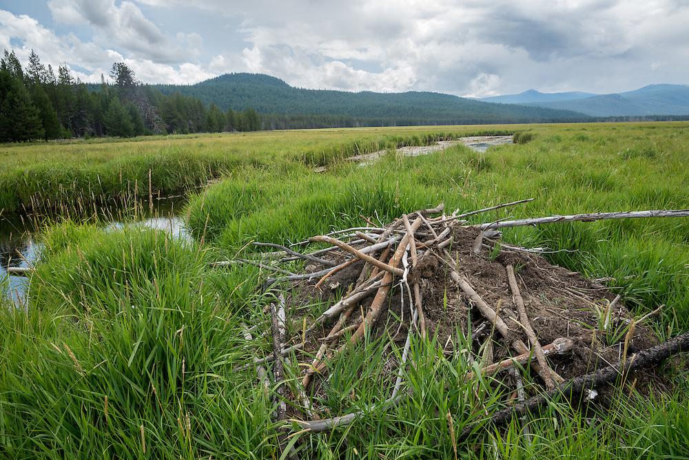 Beaver dam, Big Marsh, Oregon.
