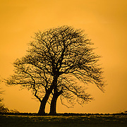 Bare winter trees against an orange sunset sky, Saddleback Mountain, Kiama, NSW, Australia.