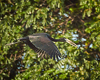 African Openbill. Zambezi River Wildlife Tour. Image taken with a Nikon 1 V3 camera and  70-300 mm VR lens