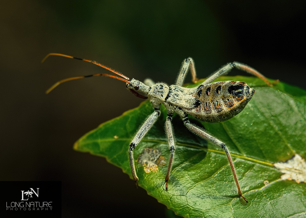 Arilus cristatus - Wheel Bug nymph, photographed in Lady Lake FL USA on a camilia bush.