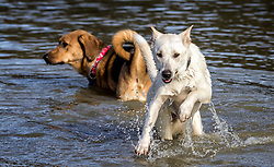 Two dogs jump and play in the pond, built just for them