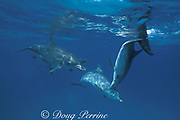 Atlantic spotted dolphins, Stenella frontalis, bite each other during, aggressive social interaction, Little Bahama Bank, Bahamas ( Western Atlantic Ocean )