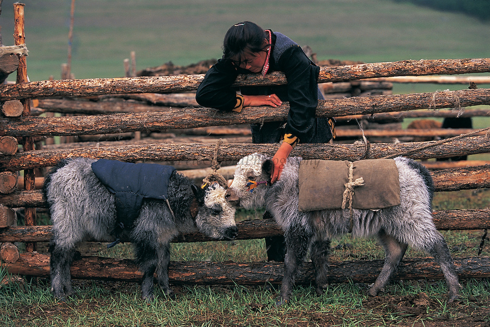 Baby yaks with blankets<br /> Darkhad Depression<br /> Northern Mongolia<br /> Used on weak animals