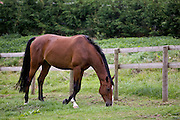 Bay horse grazing in Oxfordshire, United Kingdom