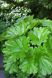 Darmera peltata AGM. Umbrella plant