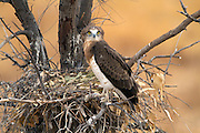 Short-toed Snake Eagle (Circaetus gallicus) In its nest on a tree. This bird of prey is found throughout the Mediterranean basin, Russia and the Middle East, and parts of Asia. Photographed in Carmel mountain, israel in July