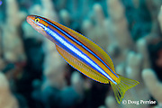 Ewa blenny, Ewa fangblenny, or blue-stripe blenny, Plagiotremus ewaensis ( endemic species ), probably a mimic of the Hawaiian cleaner wrasse, bites of bits of skin, scales, and mucus from larger fish;  Milolii, South Kona, Hawaii ( Central Pacific Ocean )