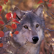 Gray Wolf, (Canis lupus) Portrait of adult. Fall. Rocky mountains. Montana. Captive Animal.
