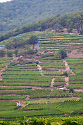 vineyard furstentum grand cru kientzheim alsace france