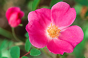 Canada. British Columbia, BC. Rose, wild