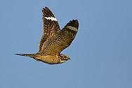 Lesser Nighthawk - Chordeiles acutipennis - male
