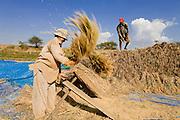 16 MARCH 2006 - KAMPONG CHAM, KAMPONG CHAM, CAMBODIA: Threshing rice by hand in a paddy near the city of Kampong Cham on the Mekong River in central Cambodia. Photo by Jack Kurtz / ZUMA Press