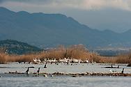 The special reserve at Pančeva oka, a nesting site for the rare Dalmatian pelican (Pelicanus crispus) on Lake Skadar. Lake Skadar national park, Montenegro © Rudolf Abraham