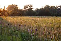 Backlit Prairie blazing star on Blackland Prairie, Mary Talbot Prairie, owned by Native Prairies Association fo Texas (NPAT), Texarkana, Texas, Farmersville, Texas, USA.