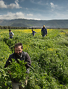Picking parsley. Visiting the fields of Adonis Gligoris, a farmer from Pyrgos village.
